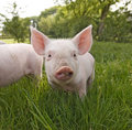 Stock Images Cute Piglet Close Up