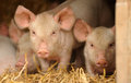 Cute piglets closeup of on pile of straw Stock Photo
