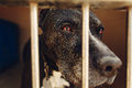 Cute pitbul dog in shelter cage with sad crying eyes and pointin Royalty Free Stock Photo