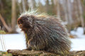 Cute Porcupine Snacking One Fi...