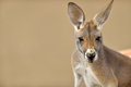 Cute portrait of a kangaroo close up red macropus rufus Royalty Free Stock Photo