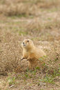 Cute prairie dog an alert sitting up Stock Photo