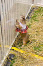 Cute prairie dog dressed up with haycock dry grass in white cage Stock Photo