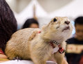 Cute prairie dog on person