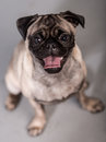 Cute pug dog with his tongue out Royalty Free Stock Photography