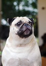 Cute pug dog lovely white fat sitting on a wooden table making sadly face head shot close up outdoor under natural sunlight with Royalty Free Stock Images