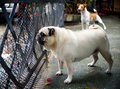 Cute pug dog playing outdoor a lovely white fat standing and barking at something outside with a young white and brown jack russel Royalty Free Stock Image