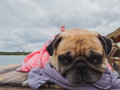 Cute pug dog relaxing, resting,or sleeping at the sea beach, under the cloudy day on the pier bridge wrapped with human cloth beca Royalty Free Stock Photo