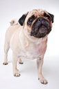 A cute pug dog with sad flat face Royalty Free Stock Photography