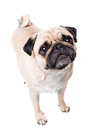 A cute pug dog with sad flat face Royalty Free Stock Images
