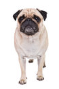 A cute pug dog with sad flat face Royalty Free Stock Photos