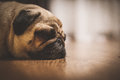 A cute pug dog with sad flat face Royalty Free Stock Photo