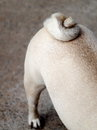 Cute pug dog tail curl roll circle of a fat square body white show one purebred pedigree character of the toys Stock Photography