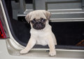 Cute pug puppy curious looking out of a car Royalty Free Stock Photo
