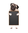 Cute pug puppy dog with glasses, standing up holding blank blackboard sign and giving a like with thumb, isolated on white backgro Royalty Free Stock Photo