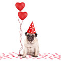 Cute pug puppy dog sitting down on confetti, wearing party hat and holding red heart shaped balloons, isolated on white bac Royalty Free Stock Photo