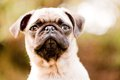 Cute pug puppy face Royalty Free Stock Photos