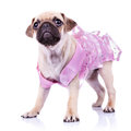 Cute pug puppy in a pink dress Stock Photography