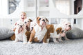 Cute puppies of English bulldog sitting on the carpet with the little girl Royalty Free Stock Photo