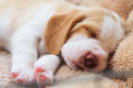 Cute Puppy Beagle sleep Royalty Free Stock Photo
