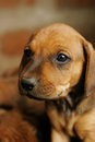 Cute puppy with big eyes brown puppies see my other works in portfolio Royalty Free Stock Image