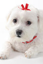 Cute puppy dog with red ribbon a pet wearing a bow Stock Image
