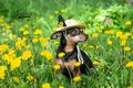 Cute puppy, dog in a straw hat surrounded by spring yellow colors on a flowered meadow,  butterflies fly around . Royalty Free Stock Photo
