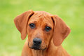 Cute puppy face portrait outdoor head of a young little purebred rhodesian ridgeback dog staring with facial expression Royalty Free Stock Images