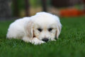 Cute puppy laying low on grass