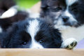 Cute puppy looks out of a bed elo german dog breed small Royalty Free Stock Photography