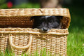 Cute puppy looks out of a suitcase elo german dog breed Stock Photos