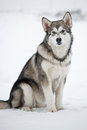 Cute puppy malamute Stock Photos