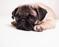 Cute Puppy - Pug Toy Dog Royalty Free Stock Photo