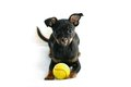 Cute puppy of russian toy-terrier Stock Photos