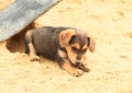 Cute puppy on sandpit sad brown lying in a hole in sand Stock Photography