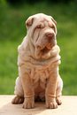 Cute Puppy sharpei sitting Stock Photo