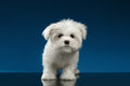 Cute pure white maltese puppy standing curiously looking in camera and on blue background Royalty Free Stock Photography