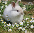 Cute rabbit baby white angora sitting in some daisies Royalty Free Stock Image