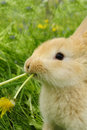 Cute Rabbit Eating Dandelion Royalty Free Stock Photos