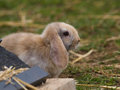 Cute rabbit a with floppy ears sits on the grass Stock Images