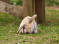 Cute rabbit a with floppy ears sits on the grass Stock Image