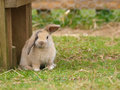 Cute rabbit a with floppy ears sits on the grass Royalty Free Stock Photo