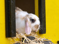 Cute rabbit a with floppy ears sits inside its hutch Stock Images