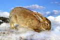 Cute rabbit standing melting spring snow over blue sky Royalty Free Stock Images