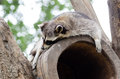 Cute raccoon resting on the top of tree house Royalty Free Stock Photo