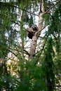 Cute racoon on a branch high on the tree Royalty Free Stock Photo
