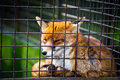Cute red fox suffering cage Stock Photos