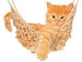Cute red haired kitten in hammock on a white background Stock Image