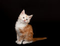 Cute red Maine Coon kitten Stock Photos
