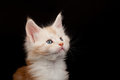Cute red Maine Coon kitten looking up Stock Photo